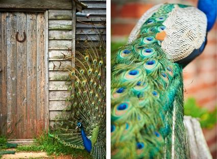A peacock at Shimshir Stud, Karridale