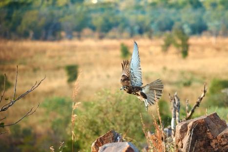 A Spotted Harrier taking off in Kununurra