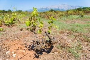GRK vines
