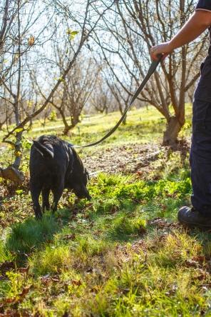Truffle Hunt at Manjumup Truffles